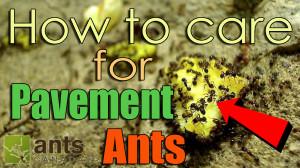 New Video: Pavement Ants (Tetramorium) | AntsCanada Tutorial