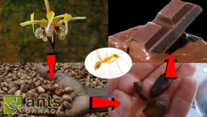 Ants that help make Coffee, Chocolate, and Pineapples