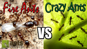 NEW VIDEO: Every Wonder How Ants Reproduce?