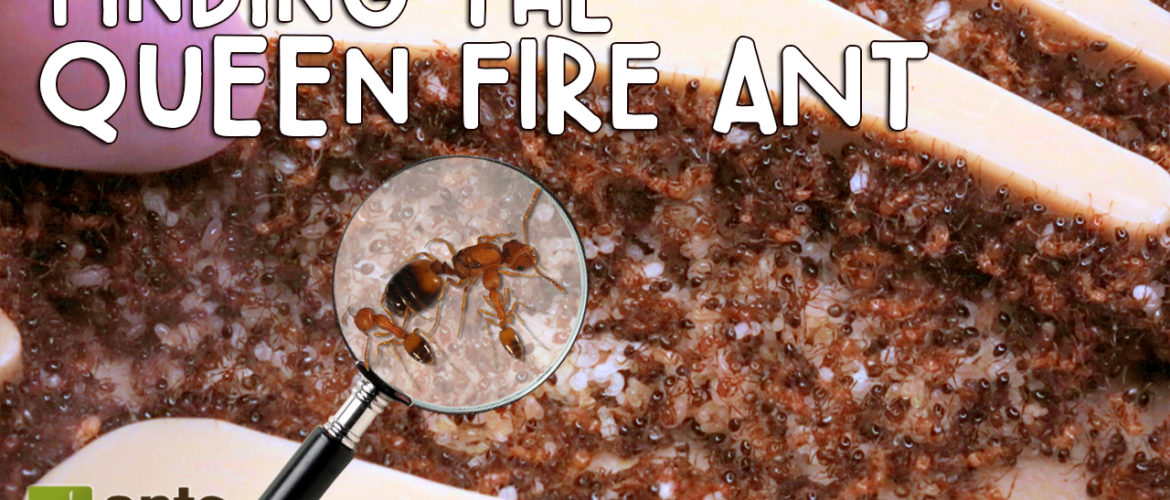 fire ant new video finding the queen fire ant antscanada