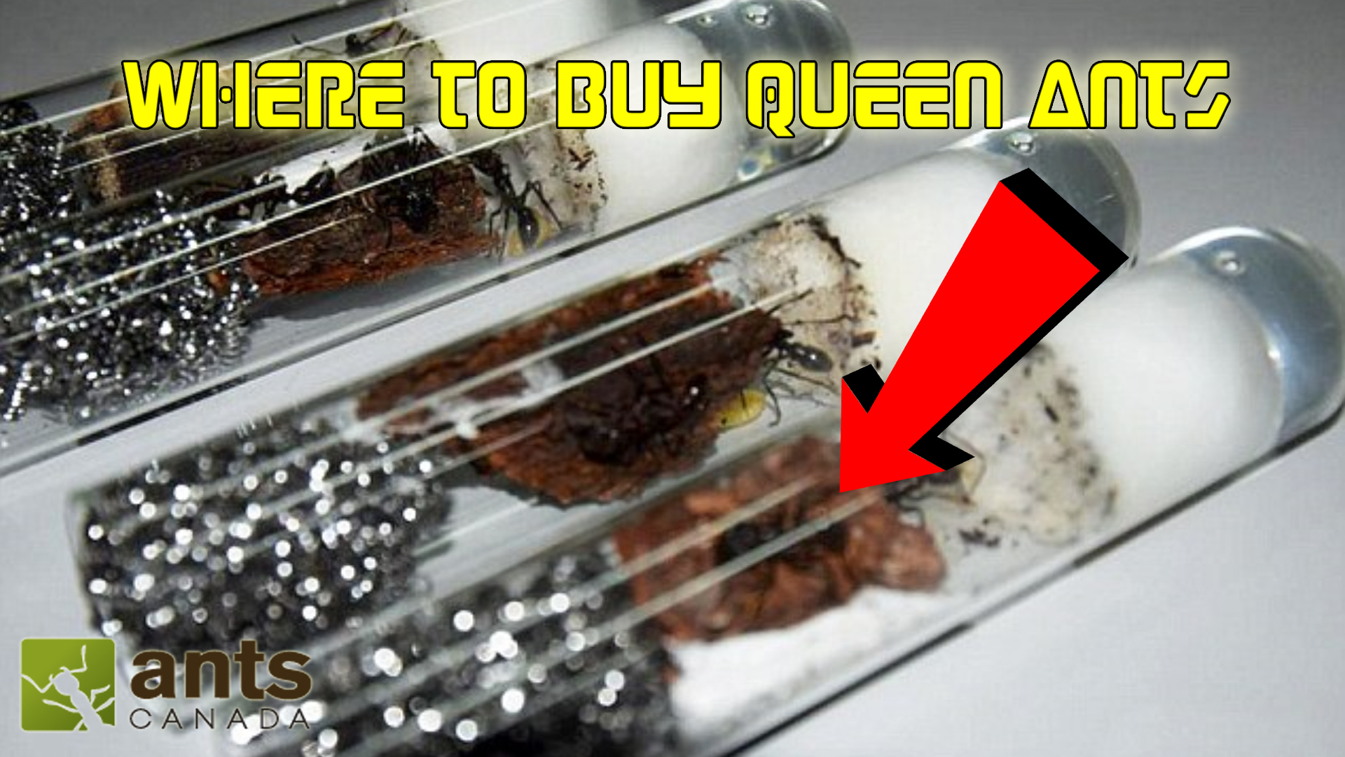 how to find a queen ant